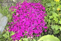 Флокс Дугласа Crackerjack (Phlox douglasii Crackerjack)