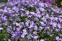Флокс Шиловидный Emerald Cushion Blue (Phlox subulata Emerald Cushion Blue)